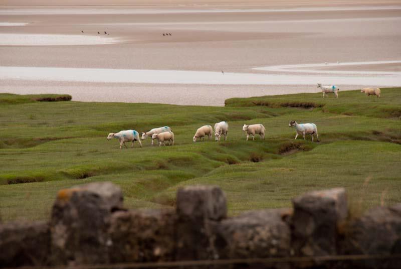 Lambs on a Salt Marsh